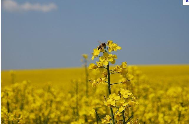 abeille_colza